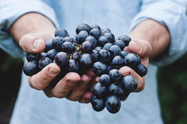 A person holding grapes ready to turn into wine