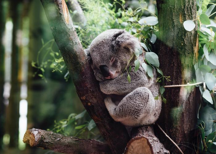 A koala at the Kanyana Wildlife Rehabilitation Centre
