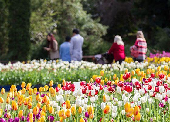 Araluen Botanic Park tulips